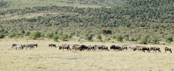 A herd of wild animals in the beautiful grassland of Masai Mara