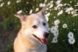 笑顔で見つめる犬とマーガレットの花