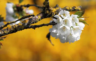 Fleurs de cerisiers sur fond jaune