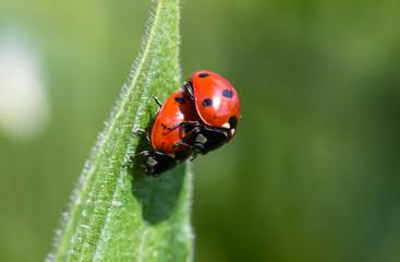 Piggyback Ladybugs