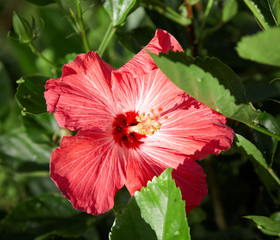 Close-up of a Hibiscus (Hibiscus rosa-sinensis) flower