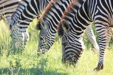 zebre nella savana parco del kruger sudafrica