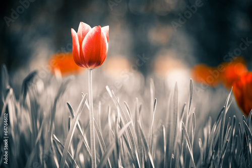 red tulip flower at spring garden - 64764602