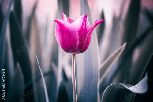 Foto op Canvas Tulp red tulip closeup