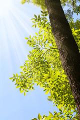 Sunshine and ash tree