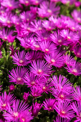 Delosperma flowers