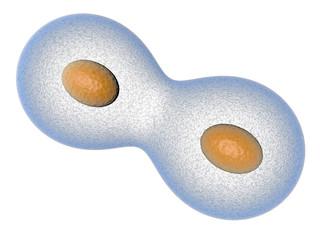 mitose cellule