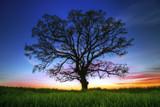 Big tree silhouette, sunset shot