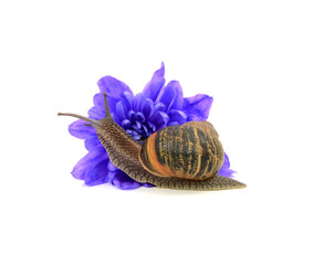 Garden pest, the snail, eats a blue chrysanthemum flower