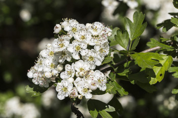 Hawthorn, or may tree (Crataegus) flowers