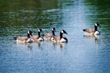 Canada Goose (Branta canadensis) family swimming in the lake