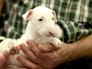 Bull terrier puppy resting on the arms