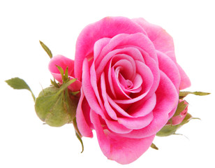 Pink rose flower head isolated on white background cutout