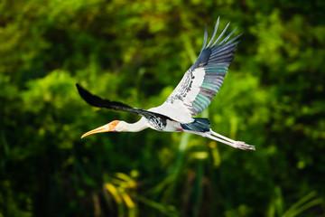 Painted Stork Flying
