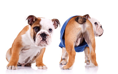 two english bulldog puppies are looking at something