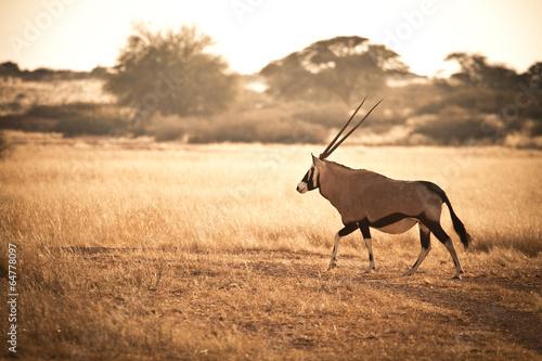 In de dag Antilope Oryx