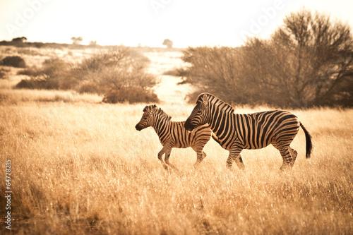 Papiers peints Zebra Zebras
