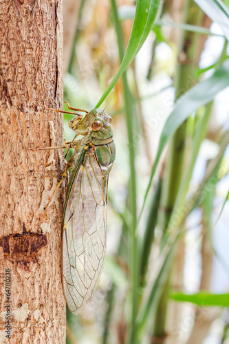 Cicada on tree close up
