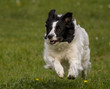 Border Collie am rennen