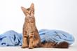 LaPerm Katze sitzend
