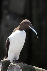 uria uccello marino pinguino isole farne scozia mare artico