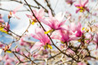 Japanese Magnolias with Bright Cloud Background