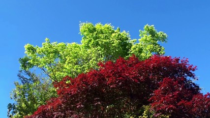 Smooth Japanese Maple (Acer Palmatum) Red & Green colors.