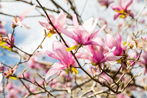 Sticker Japanese Magnolias with Bright Cloud Background