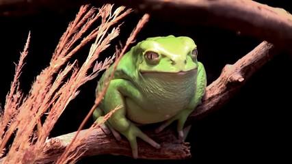 Waxy monkey leaf frog (Phyllomedusa sauvagii).