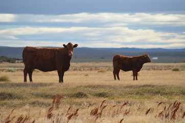 Cattle grazing on the Patagonian steppe