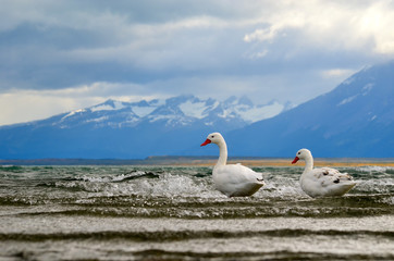 Coscoroba swans in Canal Senoret, Puerto Natales