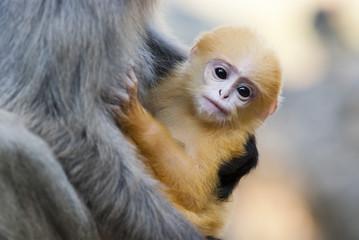 Dusky Leaf Monkey Baby