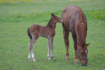 foal and mother in field