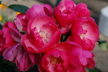 Üppige Rosenblüten im Garten