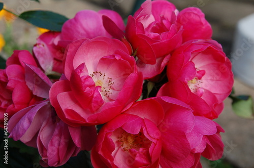 canvas print picture Üppige Rosenblüten im Garten