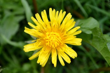 Yellow dandelion flower and leaves