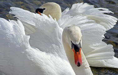 Mates for life - the beautiful and elegant Mute Swan