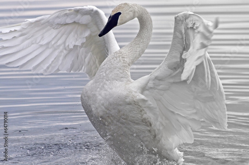 Tuinposter Zwaan Trumpeter Swan flapping and stretching her beautiful wings