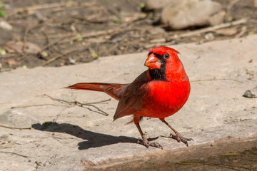 Cardinal by the water