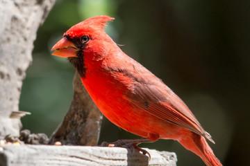 Cardinal at a feeder