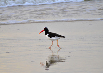 Ameican oystercatcher on the beach