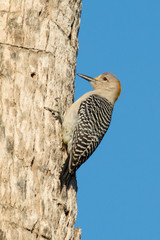 Golden fronted woodpecker clinging to a palm tree