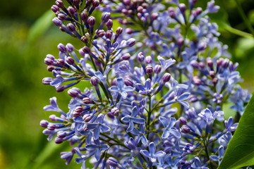 beauty of summer, blue lilac, love