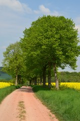 Wanderweg zwischen Bäumen und Rapsfeldern