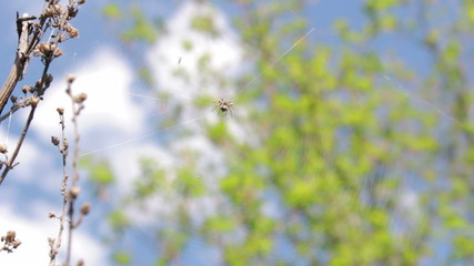 In the center of the web spider hiding and sways in the wind