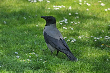 Aaskrähe, Nebelkrähen-Morphe, Corvus, #2678