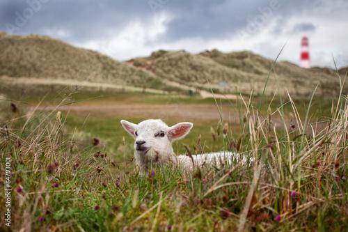kleines Lamm in den Dünen