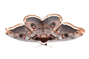 Giant Peacock Moth (Saturnia pyri) isolated on white