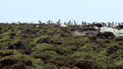 Gentoo Penguin  - Sphenis magellanicus  -  Falkland Islands