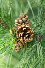 close up of pine cone in garden